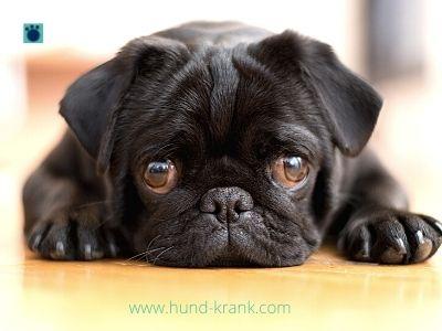 Was sind Anfängerhunde? Finde Hunde für Anfänger