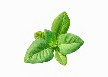Kleine Tabakpflanze