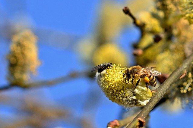 Biene Blütenpollen