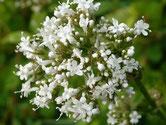 Baldrian Blüten