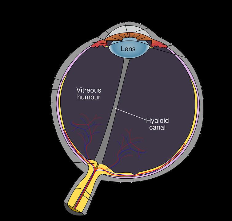 anatomisches Auge