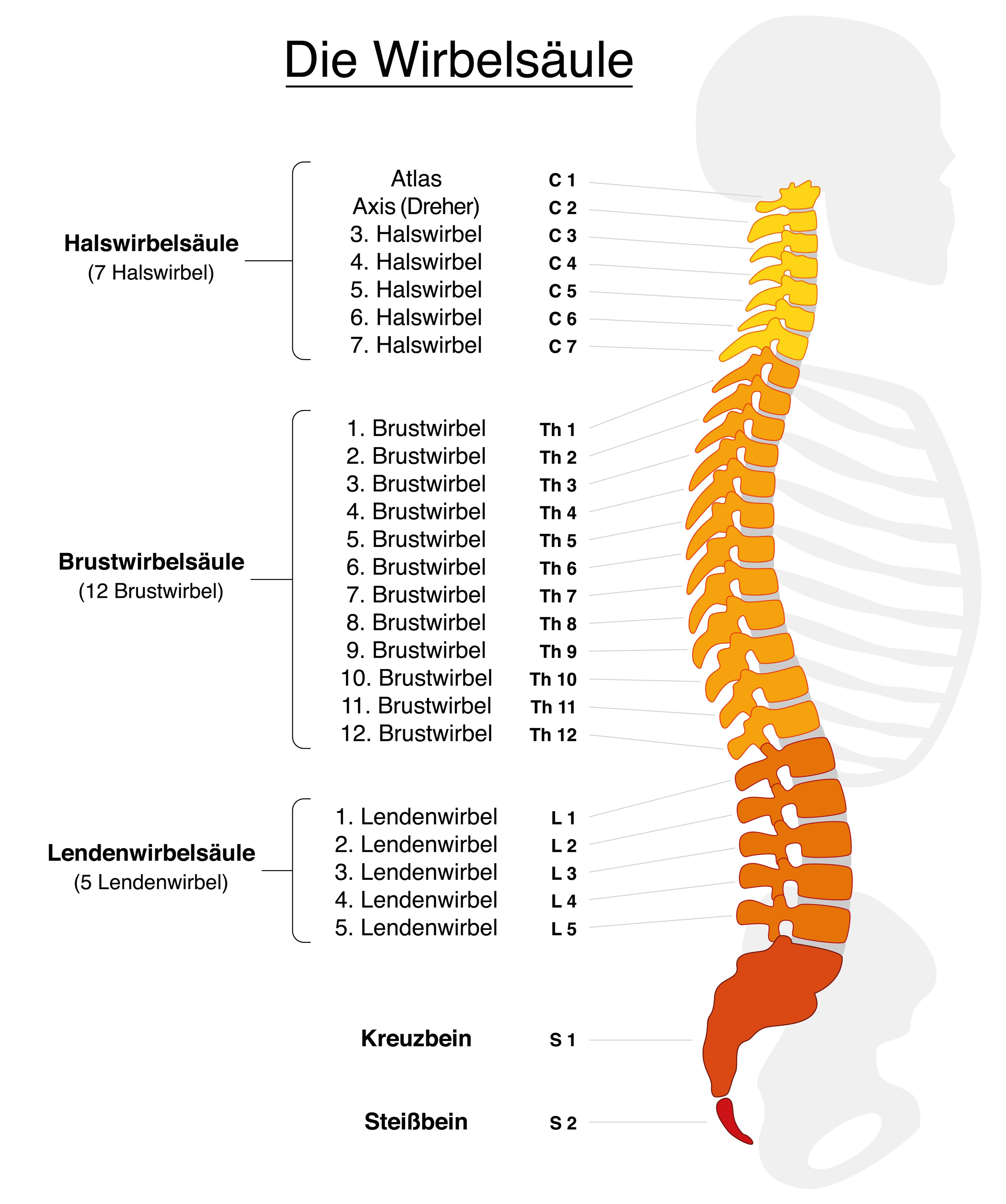Vektorgrafik auf weißem Hintergrund - Wirbelsäule mit Namen und Nummern der Wirbeltiere