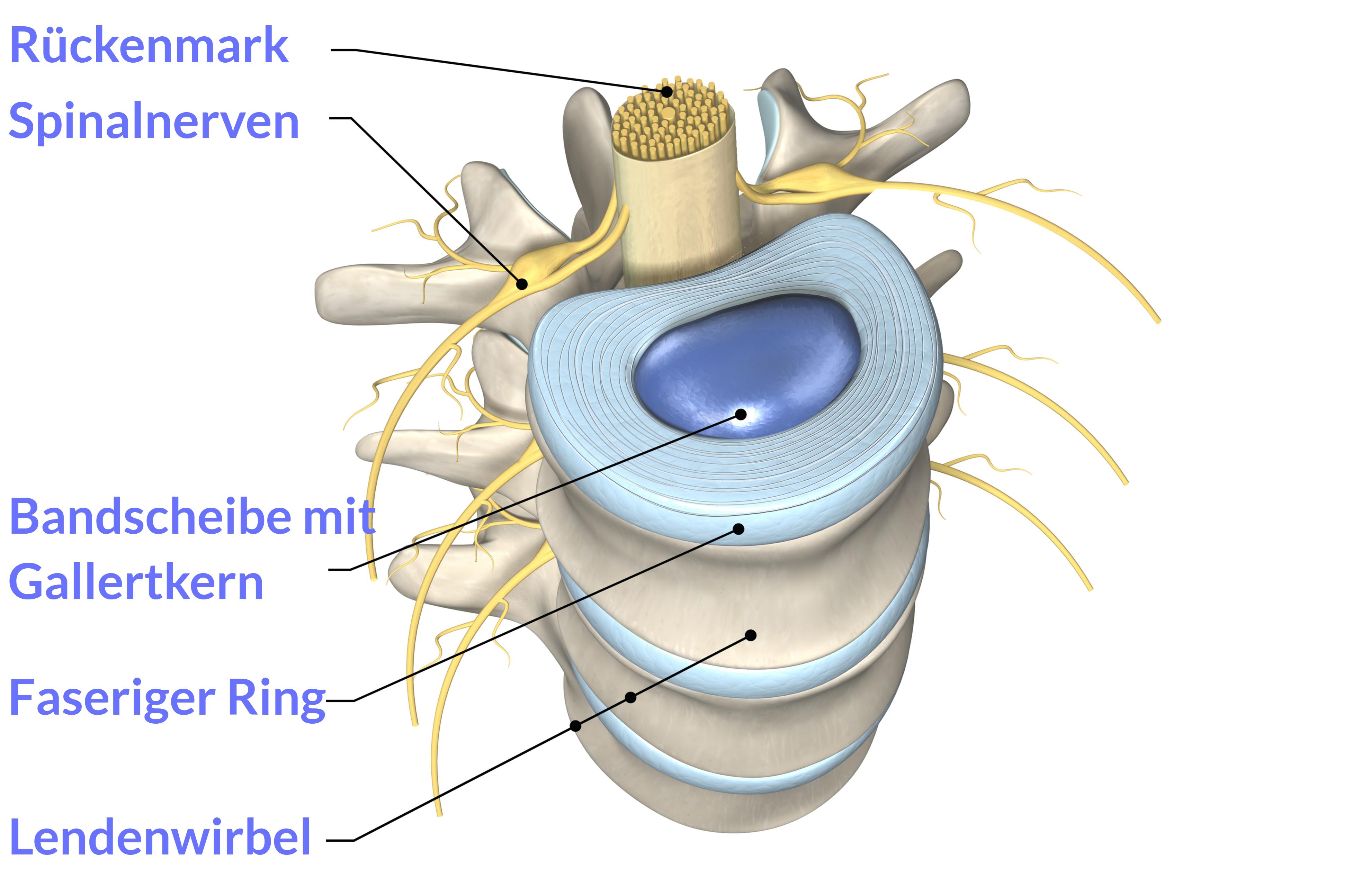 3D-Illustration von Lendenwirbeln mit Bandscheiben