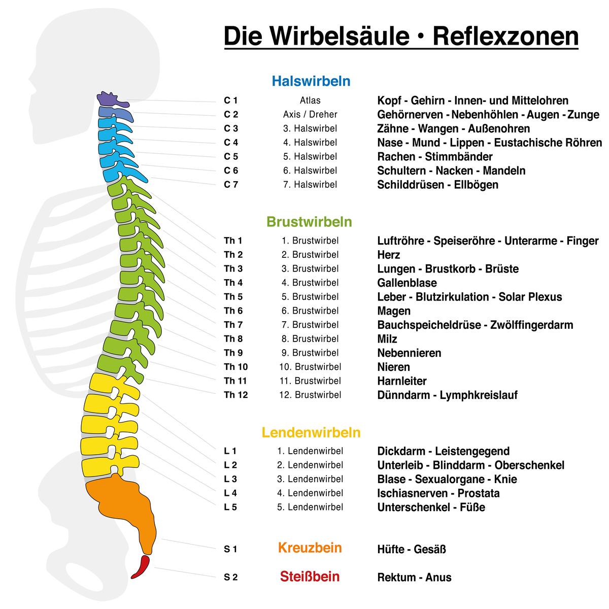 Eine Menschliche Wirbelsäule mit deren Reflexzonen