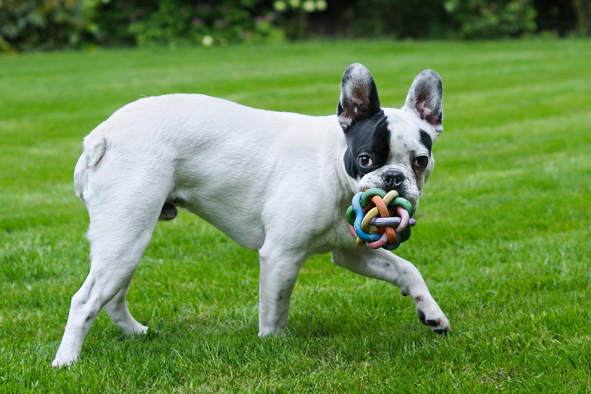 Der Hund lernt wie man spielt