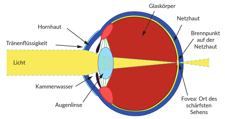 Aufbau Auge Augentraining Online
