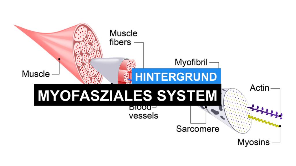"""Myofasziales System - Was ist das """"myofasziale System""""?"""