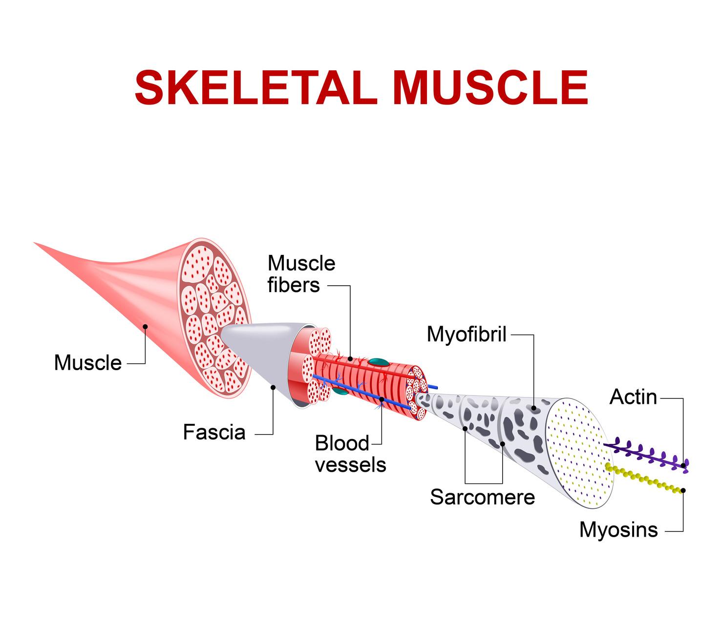 Muskelfaser, Aufbau